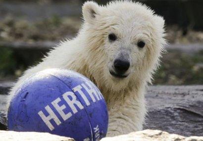 Futbol klubu qütüb ayısına sponsor oldu